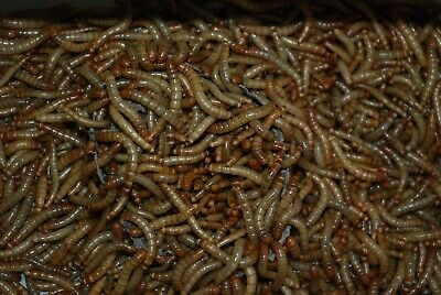 1000 LIVE medium/large meal worms. FREE shipping!