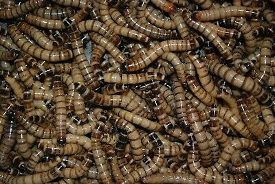 50 LIVE large superworms. Free shipping!