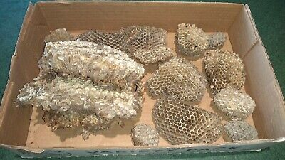 Lot of Real Paper Wasp Bee Hive hornet nests  crafts. Decor