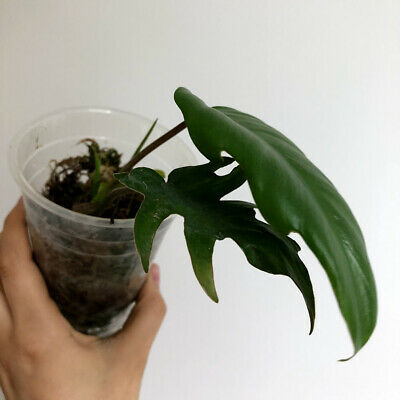 Philodendron mayoi - rare aroid plant