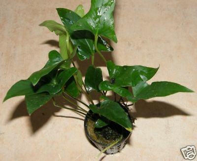 6 Pots D'anubia Gracilis - Aquarium Pour Perches