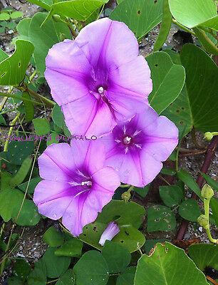 15 Fresh Beach Morning Glory Railroad Vine Seeds