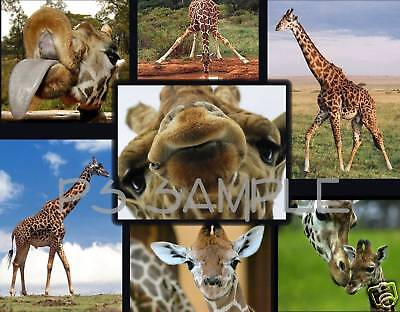 GIRAFFES - Flexible Fridge Magnet
