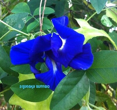 20 Fresh Butterfly Pea Vine Double Blue Pleniflora Seed
