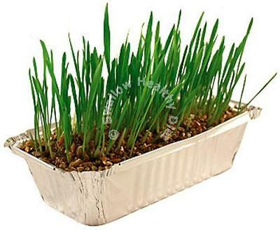 Catac Pussy Lawn - Catnip Grass Healthy Cat Treat grow your own