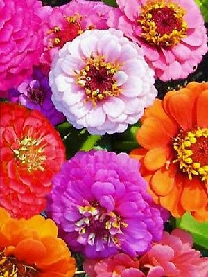 75+ Zinnia Elegans Mixed Colors Flower Seed Mix / Long Lasting Annual