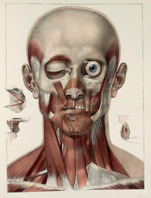 Antique Medical Neck & Facial Muscles A3 Poster Re Print