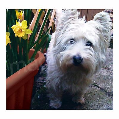 Magnet Picture West Highland White Scotty Westie Terrier Dog Daffodils