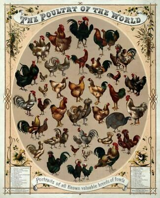 Vintage USA Travel Poster The Poultry of the World VUSA026 A4 A3 A2 A1