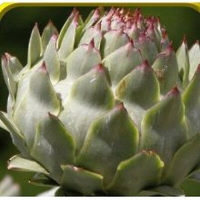 Purple Romagna Artichoke (RARE) Hard to find Seeds!! YUMMY!!!! FREE SHIPPING!!!!