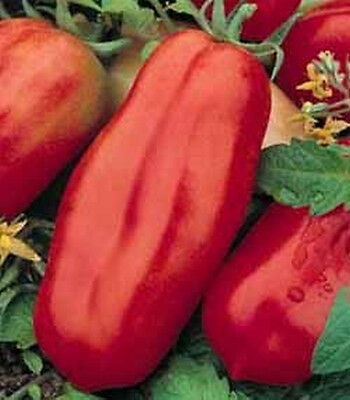 San Marzano Tomato - Huge Long Tomatoes!!! SO GOOD!!! FREE SHIPPING!!!!