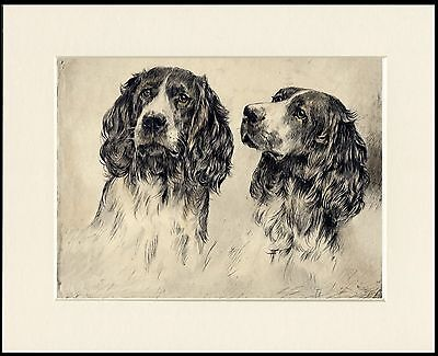 English Springer Spaniel Dogs Head Study Great Dog Print Mounted Ready To Frame