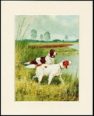 Irish Red And White Setter Two Dogs Lovely Dog Print Mounted Ready To Frame