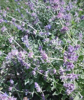 ♫ CHATAIRE 'Speng' -Nepeta mussinii ♫ Graines ♫ COLLECTION Plantes d'Aromatiques