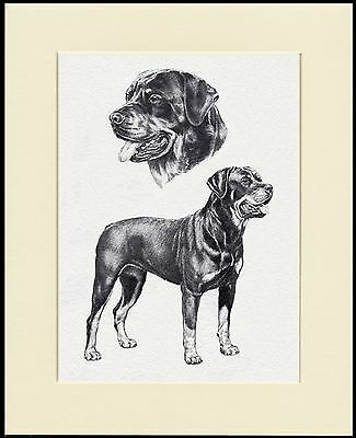 Rottweiler Great Dog Sketch Print Mounted Ready To Frame