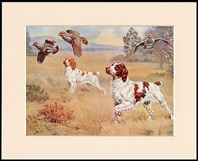Brittany Spaniel Great Gun Dog Print Mounted Ready To Frame