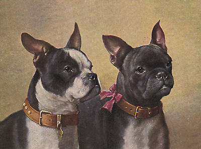 Boston Terrier French Bulldog Lovely Dog Head Study Print Mounted Ready To Frame
