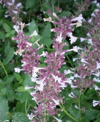 ♫ CHATAIRE 'Purple Cat' - Nepeta mussinii ♫ Graines ♫ COLLECTION d'Aromatiques ♫