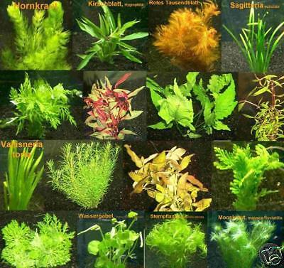 100 Plantes d'aquarium rouges / vertes, 16 bouquets fr