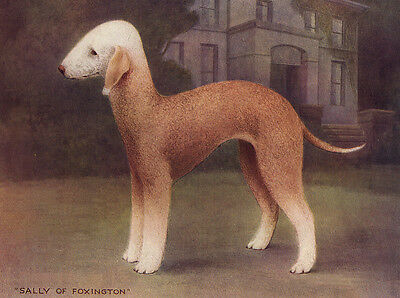 "Bedlington Terrier Charming Dog Greetings Note Card ""sally Of Foxington"""