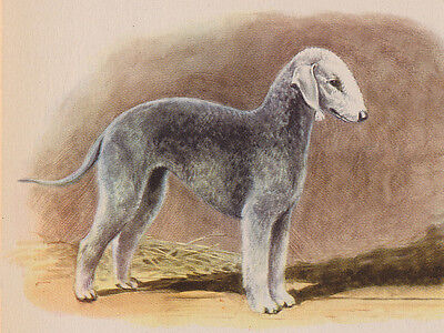 Bedlington Terrier Charming Dog Greetings Note Card Beautiful Standing Dog
