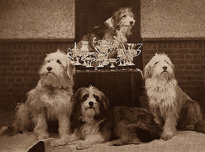 Bearded Collie Group Of Dogs Lovely Dog Greetings Note Card