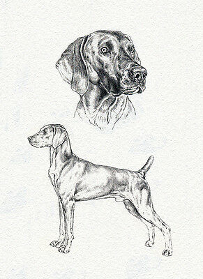Weimaraner Charming Dog Greetings Note Card Full Dog And Head Study Sketch Card
