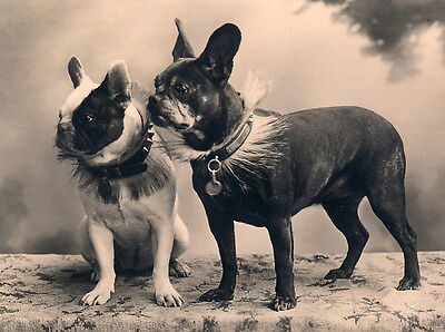 French Bulldog Lovely Dog Greetings Note Card Two Dogs Sitting & Standing Sepia