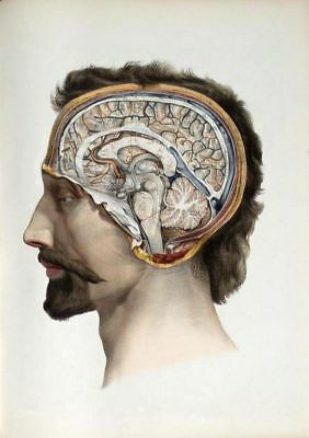 19Th C. Antique Medical Human Brain A3 Poster Re Print