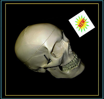Professional Full Size Human Skull Model-UK Seller