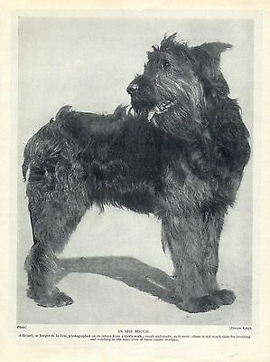 Briard Standing Dog Original Dog Print Page From 1934