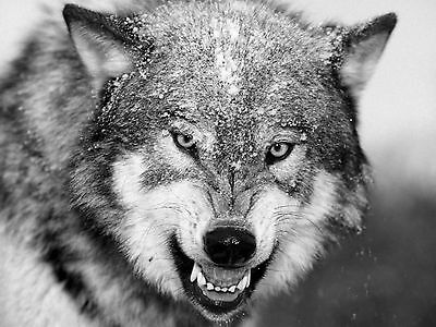 3401 Animal Poster THE WOLF Photo Picture Poster Print Art A0 A1 A2 A3 A4