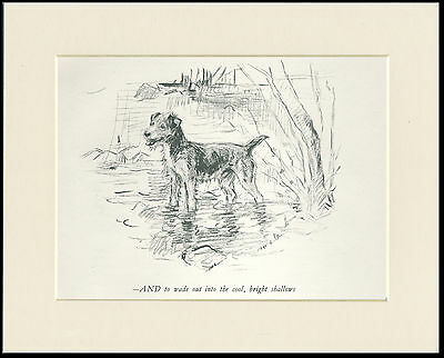 LAKELAND TERRIER DOG IN WATER OLD 1930'S DOG SKETCH PRINT by KF BARKER MOUNTED