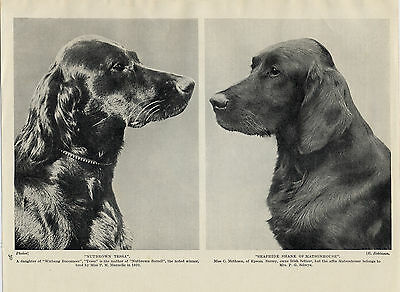 Irish Setter Head Study Two Named Dogs Old Original Print From 1934