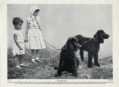 Irish Water Spaniel Dogs And Two Small Children Old Original 1930'S Dog Print