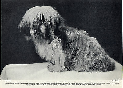 Lhasa Apso On Old 1930's Original Dog Print