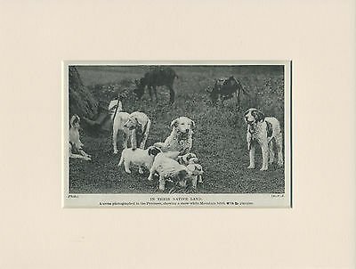 PYRENEAN MOUNTAIN DOGS AND PUPPIES OLD 1930'S PRINT MOUNTED READY TO FRAME