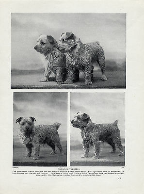 Norwich / Norfolk Terrier Named Dogs Old Original Dog Print From 1934