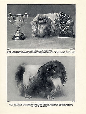 Pekingese Two Winning Named Champion Dogs Old Original 1934 Dog Print