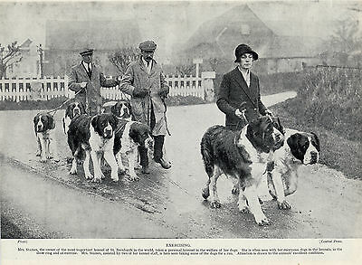 Saint Bernard Group Of Dogs Being Exercised Old 1934 Dog Print