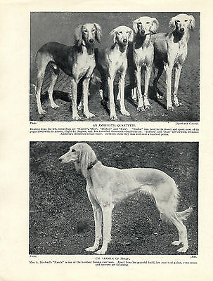 Saluki Images Of Five Named Dogs Old Original Dog Print From 1935