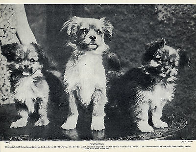 Tibetan Spaniel Group Of Puppies Old Original Dog Print From 1934