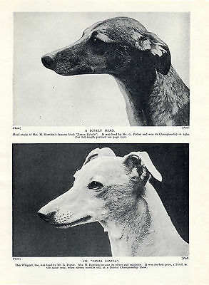 Whippet Two Named Dogs Head Study Lovely Old Vintage 1934 Dog Print