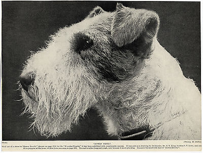 Wire Fox Terrier Head Study Old Original Dog Print From 1934
