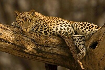 LEOPARD ~ LOUNGING 24x36 ANIMAL POSTER Cat Tree NEW/ROLLED!