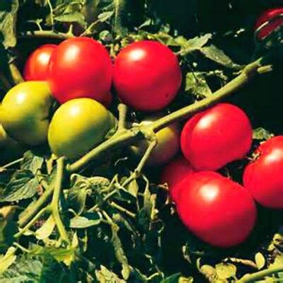 Super Sonic Tomato Seeds COMBINED S/H VERY MEATY! SEE OUR STORE