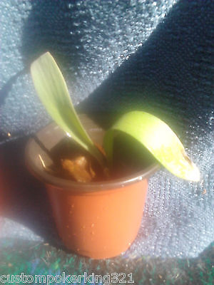 Baby Staghorn Fern, Ready to Mount