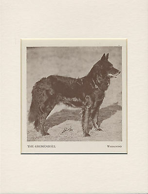 Belgian Shepherd Groenendael Named Dog Old 1930's Print Ready Mounted