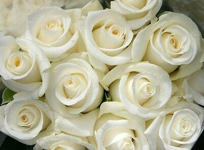 Snow White Rose Bush! 10 Seeds! Comb. S/H! SEE OUR STORE FOR OTHER ROSES!