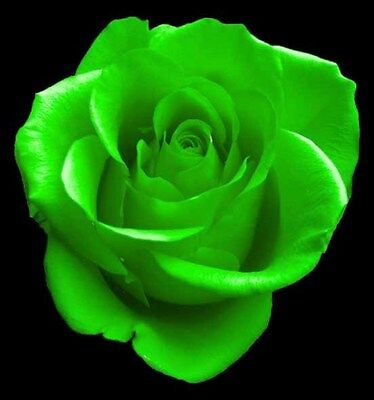 Green Rose Bush! 10 Seeds! COMBINED S/H! SEE OUR STORE FOR OTHER ROSES!